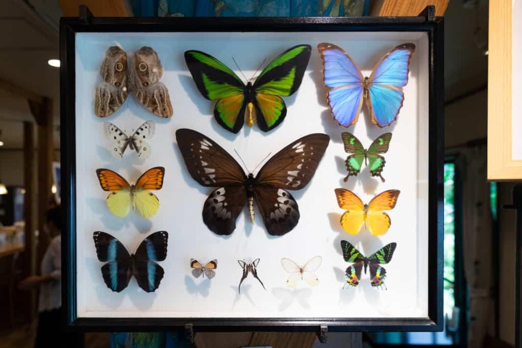 カフェマリポーサ 蝶の標本
